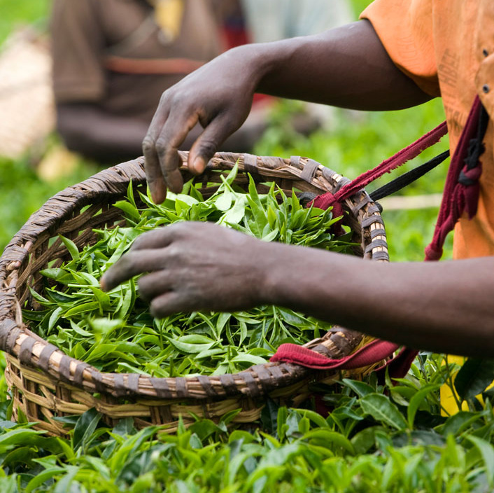 Tea Importers - SORWATHE
